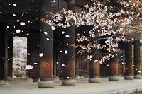 京都府 南禅寺 桜と三門