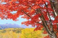 長野県 一の瀬園地の大カエデと乗鞍岳