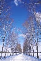 北海道 十勝牧場の白樺並木