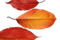 植物 サクラの葉
