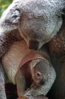 お母さんの袋から顔を出すコアラの赤ちゃん