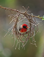 巣を作る赤い鳥
