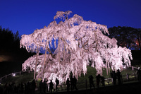 福島県 滝桜のライトアップ