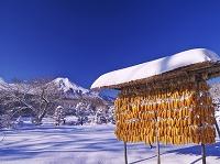 山梨県 トウモロコシと富士山