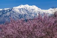 長野県 桜と爺ケ岳