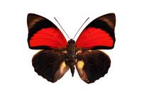 蝶 標本 ミイロタテハ ブラジル
