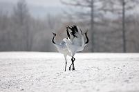 タンチョウの求愛ダンス 鶴居村 北海道