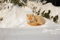 キタキツネ 雪の中で丸くなって休む