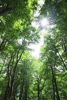 秋田県 鳥海山麓 木漏れ日とブナ林