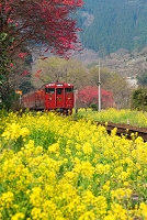 熊本県 菜の花と電車