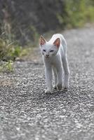 歩いてくる白い猫