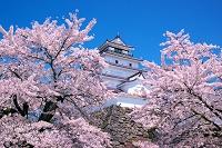 福島県 桜と鶴ヶ城