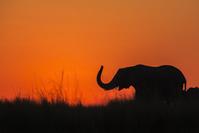 ボツワナ アフリカゾウ