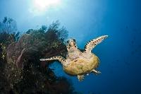 フィジー ウミガメ