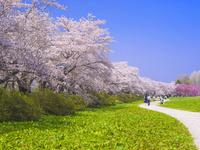 北上展勝地・桜