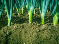 赤土に植わる長ネギ