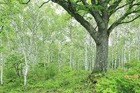 長野県 八千穂高原 新緑のミズナラとシラカバ林