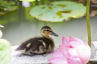 蓮の花の側で休息しているカルガモの赤ちゃん
