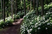 岩手県 夏の一関市 みちのくあじさい園