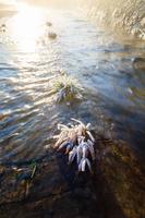 広島県 霜の花咲く川面の草