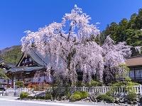 山梨県 身延山 久遠寺のしだれ桜