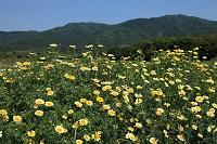 茨城県 つくば市 シュンギクの花