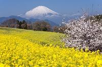 神奈川県 菜の花畑と富士山