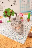 ノルウェージャンフォレストキャットの仔猫