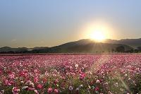 奈良県 藤原宮跡コスモス畑と朝日