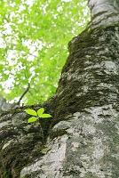 長野県 ブナの新緑と若葉