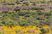 南アフリカ グーギャップ自然保護区