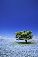 茨城県 ひたち海浜公園 ネモフィラの花畑