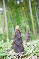 竹林と竹の子