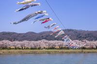 岩手県 北上展勝地の桜並木と鯉のぼり