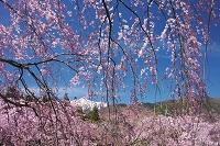 長野県 光前寺のしだれ桜と中央アルプス