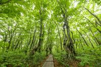 秋田県 にかほ市 新緑のブナ林