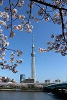 東京都 桜と東京スカイツリー