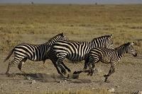 ケニア アンボセリ国立公園 グラントシマウマ