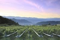 山梨県 ブドウ畑と朝焼け空