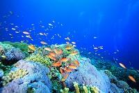 豊かなサンゴ礁とアナネハナゴイの群れ トゥバタハリーフ