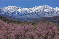 残雪の爺ヶ岳・鹿島槍ヶ岳と桜