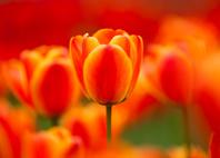 一輪の橙色のチューリップ