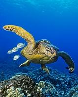 ハワイ ウミガメ