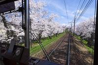 京都市 京福電鉄 桜のトンネル