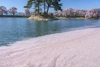長野県 水面の散り桜