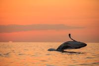 東京都 小笠原村 夕焼けをバックにジャンプするザトウクジラ