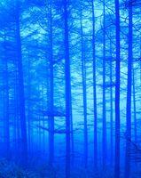 霧雨のカラ松林