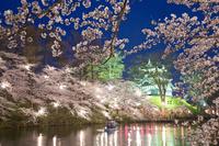 新潟県 ライトアップされた桜咲く高田城