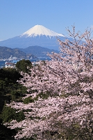 静岡市 日本平 富士山と桜