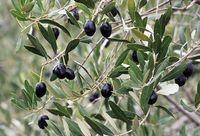 イタリア オリーブの木